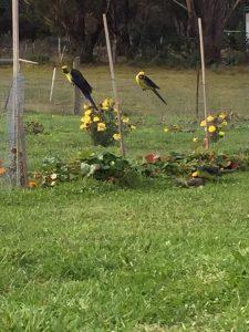 Green grass parrots